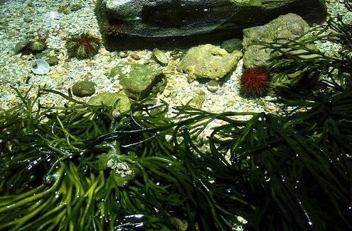 algas marinas y erizos de mar