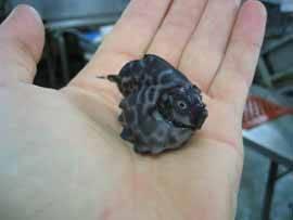 Allocyttus niger