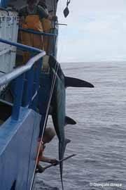 Tiburón zorro ojón (alopias superciliosus)