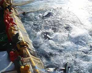 matanza de atunes, incluso con escopetas