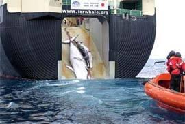 Ballena y su cria asesinadas por balleneros japoneses
