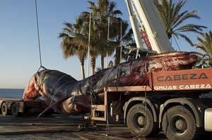 ballena traslado