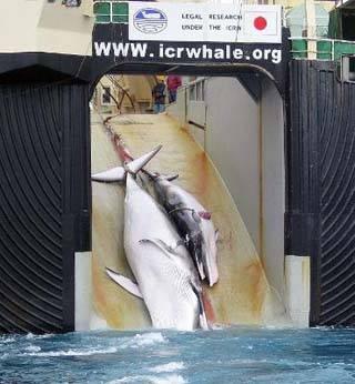ballena y su cria son remontadas a un buque ballenero japones