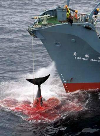 captura de ballenas