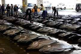 Bigeye tuna, Choshi