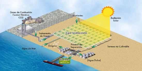 Proceso de biocombustible con algas - www.Biofields.com