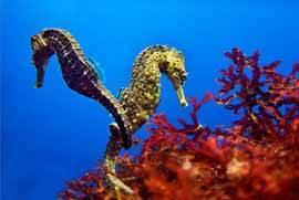 caballito de mar (hippocampus)