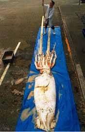 calamar gigante en Nueva Zelanda