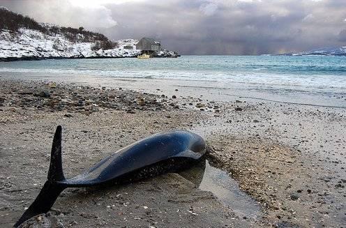 cetaceo varado