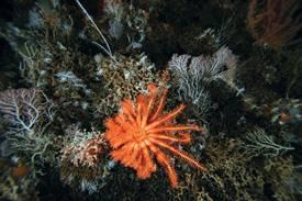 nuevas especies marinas de corales