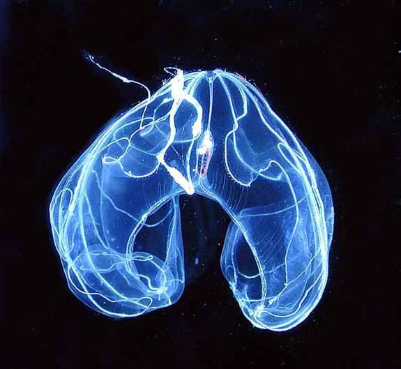 especie marina luminosa de las profundidades