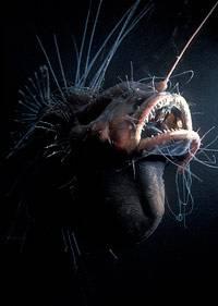 Fanfin Seadevil (Caulophryne jordani)