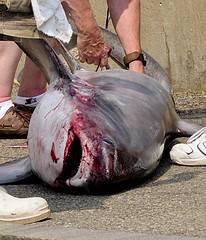 despiece de tiburon