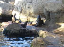 focas en el Oceanográfico de Valencia