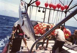 barco palangrero captura un tiburón