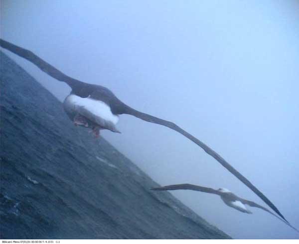 foto desde cámara en un albatros