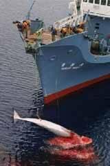 captura ballena flota japonesa
