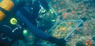 Pilar Casado en un muestreo de coral estrellado Astroides calycularis