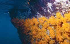 coral estrellado