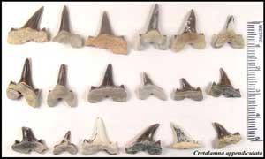 dientes del antiguo tiburón Cretalamna