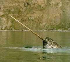 ballena narval, unicornio marino