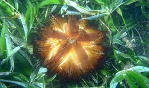 erizo entre algas marinas