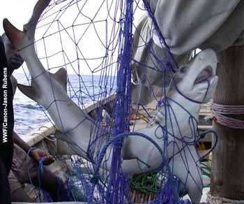 Tiburón enredado
