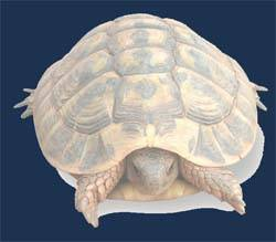 tortuga mediterránea dibujo artístico