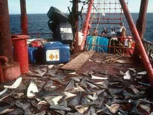 aletas de tiburón en la cubierta de un barco