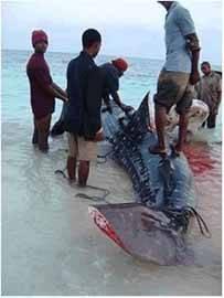 aleteo de un tiburón ballena en Kenia