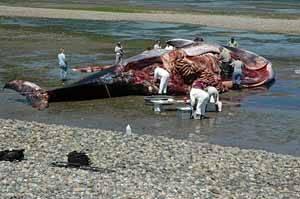 análisis del cadaver de una ballena