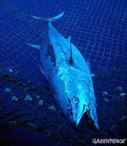 Atún rojo, capturado en una red en el Mediterráneo