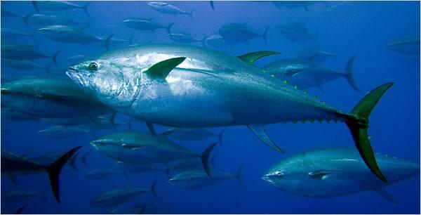 atún rojo de Mediterráneo