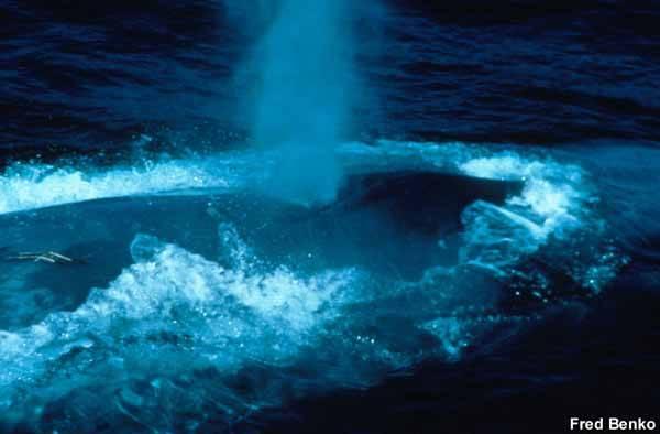 ballena azul, foto Fred Benko