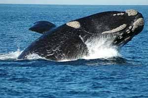 ballena franca austral, Chubut