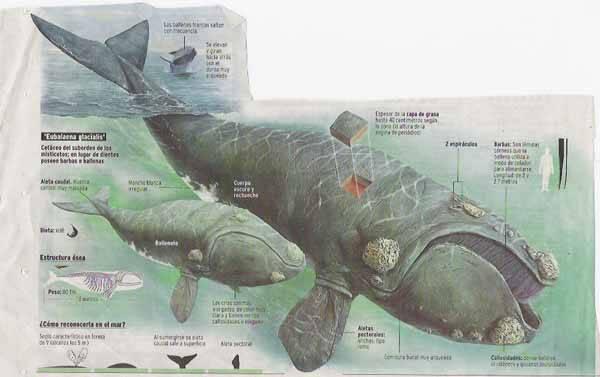 ballena franca (eubalaona glacialis)