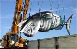 ballena transportada con una grua