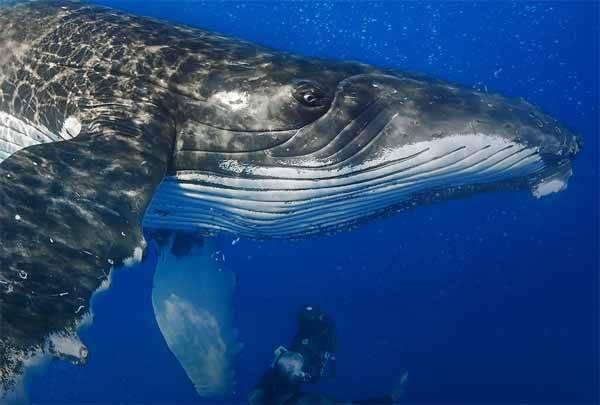 espectacular imagen de ballena jorobada par el día de los océanos