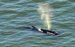 ballena jorobada en Nueva York