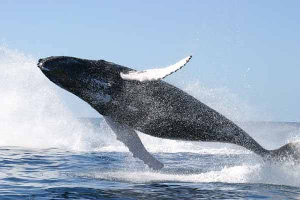 ballena saltando en el océano