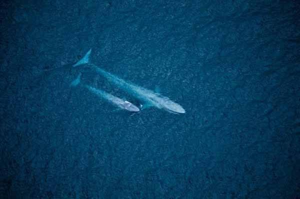 Ballena azul y su ballenato