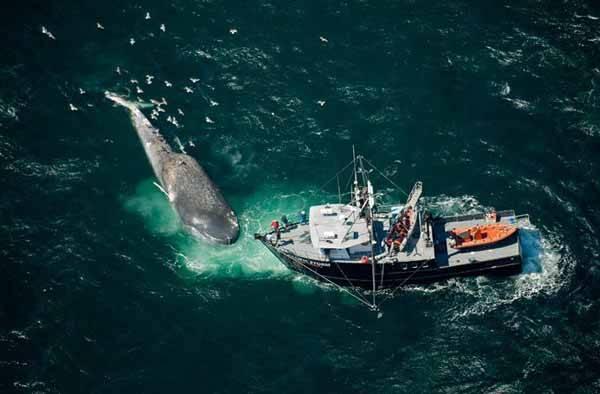 Tamaño de una Ballena azul y un barco pequeño