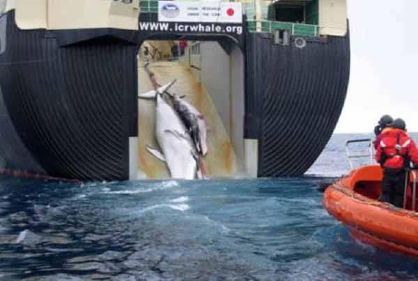ballena y cria en la rampa de ballenero japonés
