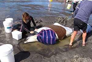 voluntarios ayudan a Ballenas y Delfines varados