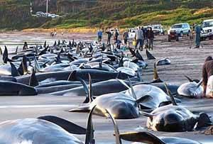 ballenas y delfines varados en Tasmania