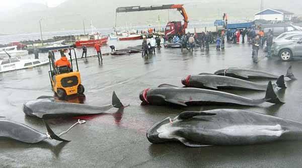 ballenas calderones cazadas en las islas Feroe, Dinamrca
