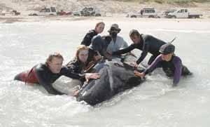 voluntarios ayudan a una ballena varada en la Bahía de Hamelin, Australia