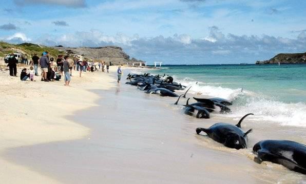 ballenas varadas en la Bahía de Hamelin, Australia