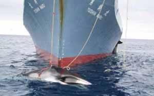 ballenero japones arponeando una ballena