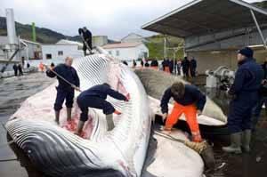 balleneros durante el despiece de ballena en Islandia